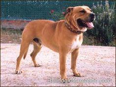 Perro de Presa Mallorquin, Ca de Bou, Mallorquin Mastiff, Mallorquin Bulldog, Perro Dogo Mallorquin, Majorca Mastiff, Majorcan Bulldog