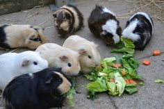 Guinea pigs lunchtime