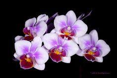 Mini Phalaenopsis schilleriana