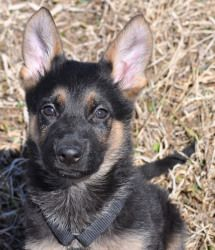 Puppies - Des Moines is an adoptable German Shepherd Dog Dog in Des Moines, IA. *Due to the amount of inquiries, if you are seriously interested in a puppy please fill out an application!* Remember th...