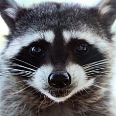 Roxie Racoon by Genie Cary of Cathlamet Cute Raccoon, Racoon, Photo Contest, Art Tutorials, Husky, Photo Galleries, Beautiful Pictures, Cute Animals, Wildlife