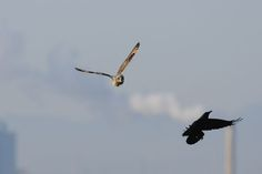 Chasing a Crow ! , Short-eared owl by Mubi.A