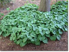 (Asarum canadense) (Wild ginger or Canadian Ginger): groundcover from Eastern N. America