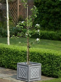 Potted Fruit Tree