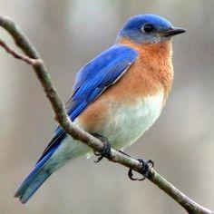 God's special little critters... eastern bluebirds