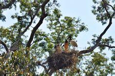 Tuiuiús em Barão de Melgaço, Pantanal Matogrossense, por Nelson Oliveira #Natureza #nature #Matogroso #Brasil #picture #fotografia #Photo #Pantanal #passaros #birds