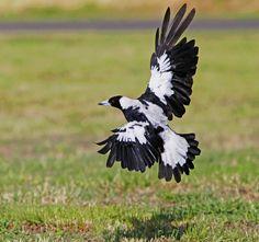 Australian Magpie : Landing on her own shadow . . . | Flickr