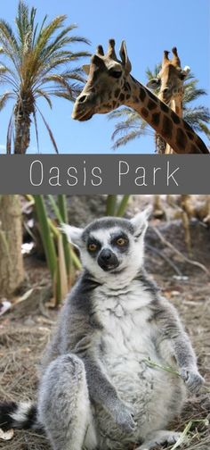 Oasis Park Fuerteventura | Lemuren, Schattengeister und Giraffen zum anfassen. http://www.the-inspiring-life.com/2016/08/oasis-park-fuerteventura.html #oasispark #fuerteventura #atlantik #kanaren