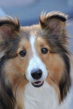 """A gorgeous sable sheltie. This one looks so much like my 13-year old """"Chelsea"""" that I lost to cancer. Shelties are precious, loyal dogs."""