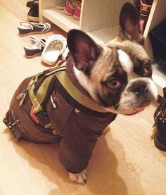 French Bulldog Puppy❤