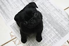 Adorable itty bitty black pug puppy
