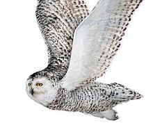 Snowy Owl in flight archival quality print by jodyvanB on Etsy