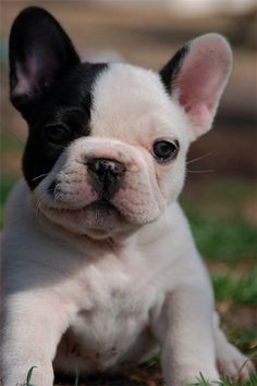 "french bulldog,  ""Sometimes a big dose of cute is a lot better than pretty."""