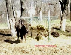 La Gradina Zoologica din Barlad exista si doi zimbri adusi in urma cu cateva luni de la o rezervatie de la Targu Neamt...  http://www.tesalut.ro/vaslui/?&mid=1&q=barlad  (photo by vrn.ro)
