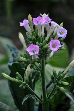Tobacco,the beauty of tobacco flowers,flowering tobacco,flowering tobacco plants.