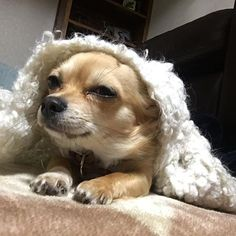 #goodmorning #toocold to  #wakeup  #おはよう #寒い #まだ眠い  #チワワ #チワワ部 #可愛い #愛犬 #ロンチー #冬 #chihuahuasofinstagram #chihuahua #lovemydog #love #animal #dogs #犬