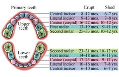 The Baby Teeth Eruption Chart shows when to expect primary teeth to erupt and loosen.