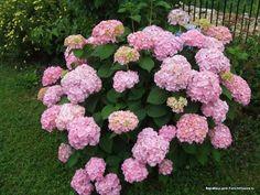 Растения для продажи | Форум - FORUMHOUSE