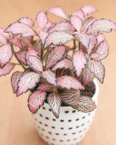 pink fittonia by @plantenfestijn on Instagram