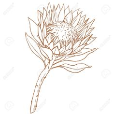 Illustration of Protea flower. Line drawing on white background. vector art, clipart and stock vectors. Flor Protea, Protea Art, Protea Flower, Line Art Flowers, Flower Line Drawings, Art Drawings, Drawing Sketches, Illustration Blume, Botanical Illustration