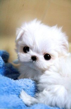 Micro Mini Maltese Puppy - I NEED this puppy. That sweet little face just melts my heart.