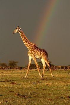 Rainbow 🌈 and a giraffe 🦒🥰 Giraffe Art, Cute Giraffe, Giraffe Pictures, Funny Animal Pictures, Animals And Pets, Baby Animals, Cute Animals, Wild Animals, Beautiful Creatures