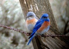 Male and female bluebirds in winter.