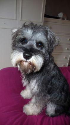 Schnauzer Grooming, Miniature Schnauzer Puppies, Schnauzer Puppy, Dog Grooming, Schnauzers, Cute Puppies, Cute Dogs, Dogs And Puppies, Doggies