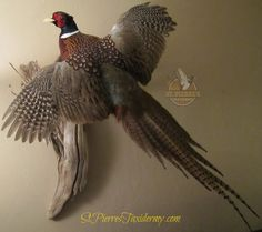 "Ring-necked pheasant mount by St. Pierre's Taxidermy. The common pheasant is a bird in the pheasant family. The genus name comes from Latin phasianinus ""pheasant-like"". The species name colchicus is Latin for ""of Colchis"" a country on the Black Sea where pheasants became known to Europeans."
