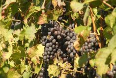 Northern Michigan Wine Grape Crop Returns For Harvest Season - Northern Michigan's News Leader