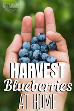 Growing blueberries in containers is a great way to produce fruit right in your own backyard. Even apartment dwellers can harvest fruit from the balcony!