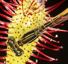A damselfly caught on the Oblong - leafed Sundew carnivorous plant