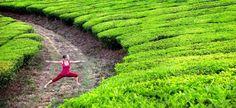 Maigrir avec le thé vert  Le Sencha, Gyokuro, Bancha, Matcha et le Benifuuki en poudre se révèlent particulièrement efficaces dans la matière