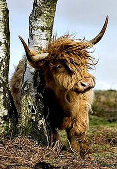 Kyloe or Highland Cow is an ancient Scottish breed of beef cattle w/ long horns + long wavy pelts. (They look a lot like mammoths) They're a hardy breed and graze on plants many other cattle avoid. Vida Animal, Mundo Animal, My Animal, Farm Animals, Animals And Pets, Cute Animals, Wild Animals, Beautiful Creatures, Animals Beautiful