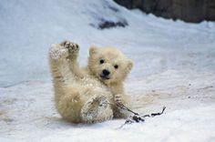 A young polar bear stretching its legs in the snow.