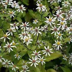Aster divaricatus Beth, voor onder hortensia Autumn Garden, Aster, Shade Garden, Woodland, Flowers, Plants, Fall, Gardens, Autumn