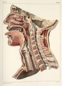 Dissection of the head and neck, Traité complet de l'anatomie de l'homme