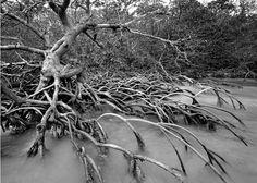 Red Mangroves | floridatravellife.com