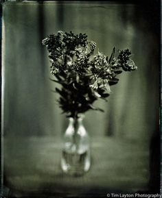 Missouri Butterfly Weed - 6/17/12 - Wet Plate Collodion by Tim Layton Sr., via Flickr