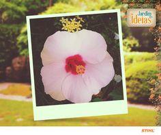 Destacamos a foto que a Cleni Diniz nos enviou do Hibisco cultivado em seu jardim. Com nome científico de Hibiscus rosa-sinensis, a planta pode ser utilizada para auxiliar nas dietas, no controle da pressão arterial e na prevenção de problemas no fígado.