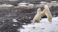 Grab a buddy and watch #polarbearcam explore.org/polarbears Polar Bears International, Hudson Bay, Explore, Watch, Animaux, Clock, Bracelet Watch, Exploring