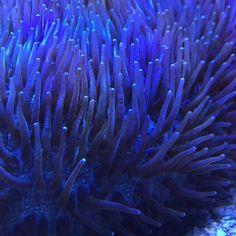 In the flow, awesome piece. ⭐️ #coral #reeftank #coralreeftank #reef #reefpack #reef2reef #reefcandy #reefersdaily #reefrEVOLution #coralreef #coraladdict #reefaholiks #reefjunkie #reeflife #instareef  #allmymoneygoestocoral #instareef  #reefpackworldwide