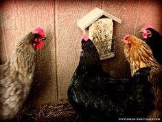 Homemade Suet Cakes For Your Chickens | Backyard Poultry Magazine