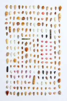 Shells collected on the coast of Princeville, by Matt Naylor.