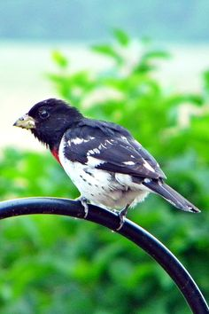 Rose Breasted Grosbeak~cl