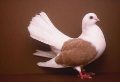 Taganroger Tumbler pigeon by Stephen Green-Armytage