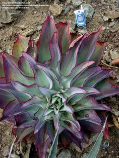 ECHEVERIA  | PlantFiles: Picture #1 of Echeveria (Echeveria subrigida)