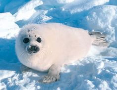 Is it just me, or do these seal pups look like poofed tampons?