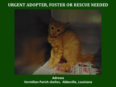 LA Shelter Animals Need Their Communitites Please Help if only for a while - URGENT! WILL DIE 9/3/15 8/26/15-S Adrewa is a female mix kitten and is 4 months old.Will be available 8/31/15. https://www.youcaring.com/aava-421146
