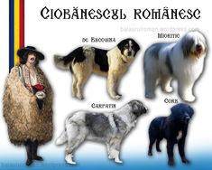 Romanian Flag, Unusual Dog Breeds, Sibiu Romania, Herding Dogs, Little Pets, Livestock, Girls Best Friend, Animals And Pets, Doge